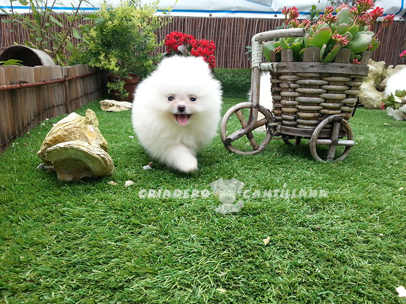 cachorro-pomerania-blanco-toy1