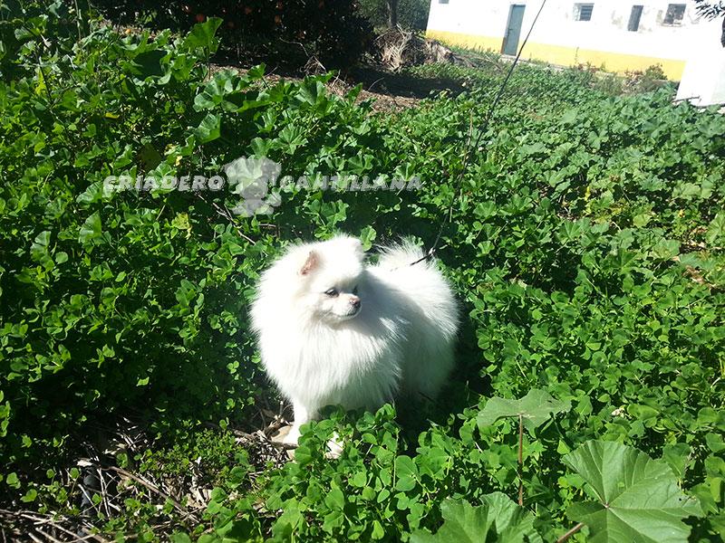 criadero-de-pomerania-blanco-toy21