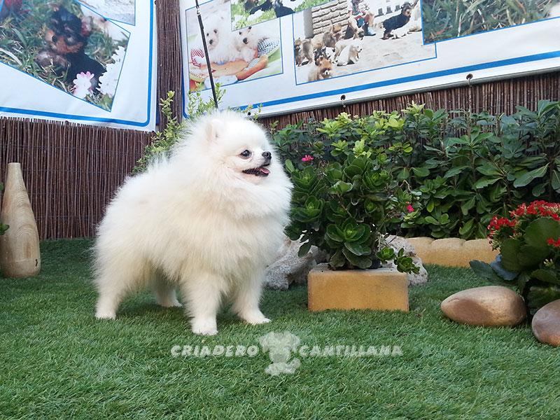 criadero-de-pomerania-blanco-toy3
