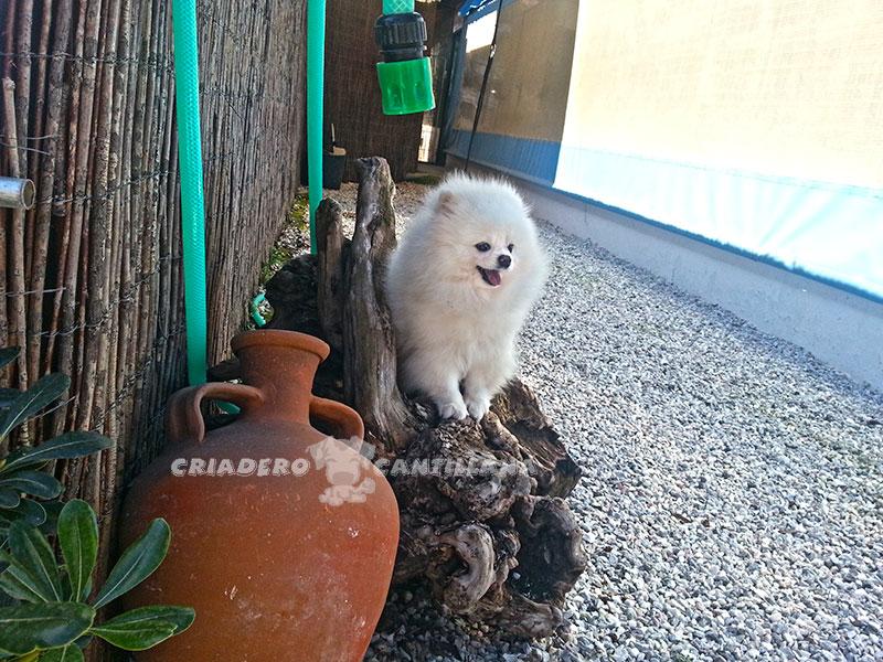 criadero-pomerania-blanco-enano1