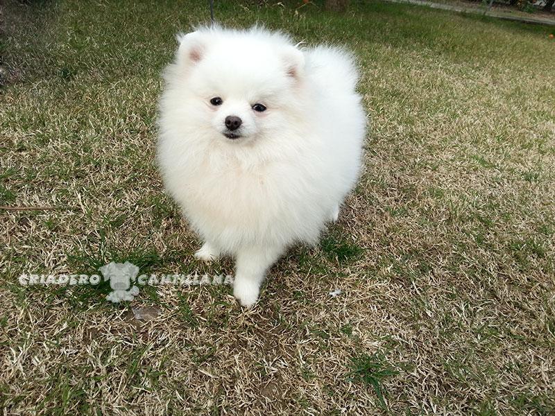 criadero-pomerania-blanco-enano11