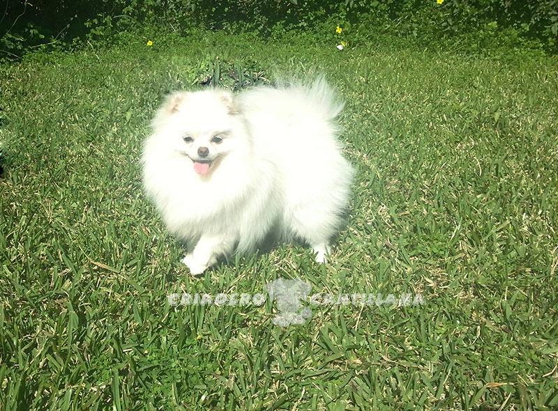 criadero-pomerania-blanco-enano21