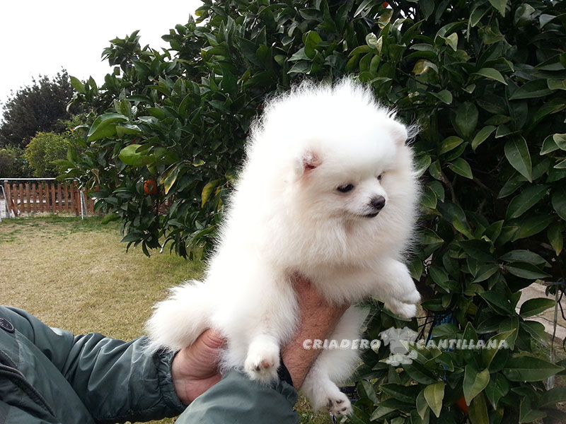 criadero-pomerania-blanco-miniatura11