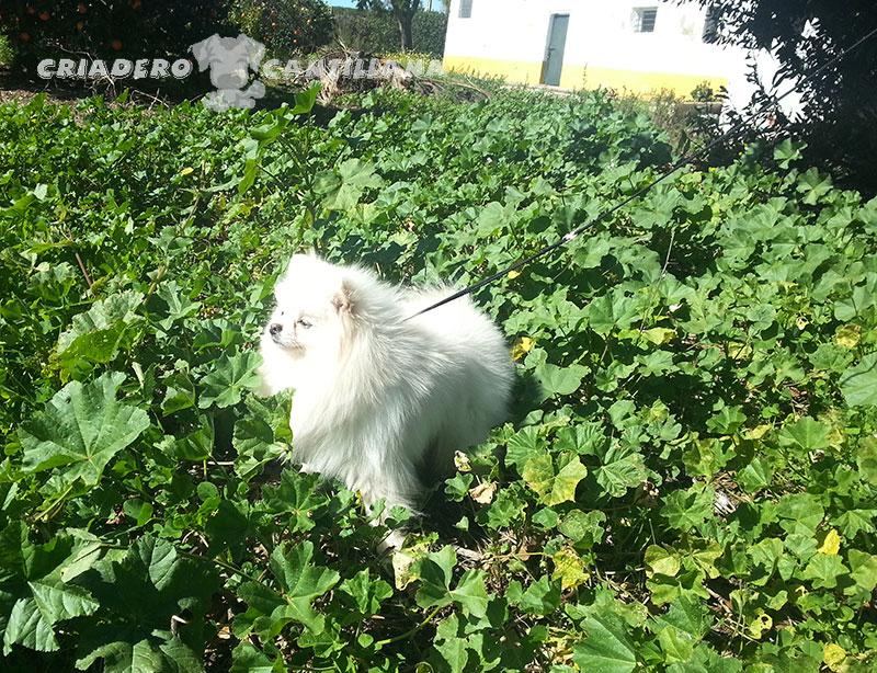 criadero-pomerania-blanco-miniatura21