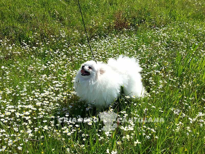 criadero-pomerania-blanco-toy12