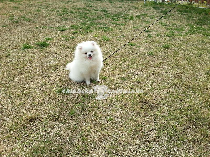 criadero-pomerania-blanco-toy21