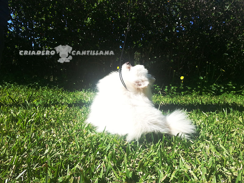 criadero-pomerania-blanco-toy31