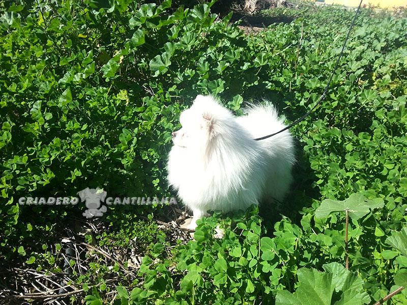 criador-pomerania-blanco-enano21