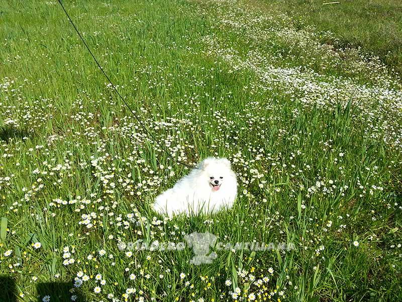 criador-pomerania-blanco12