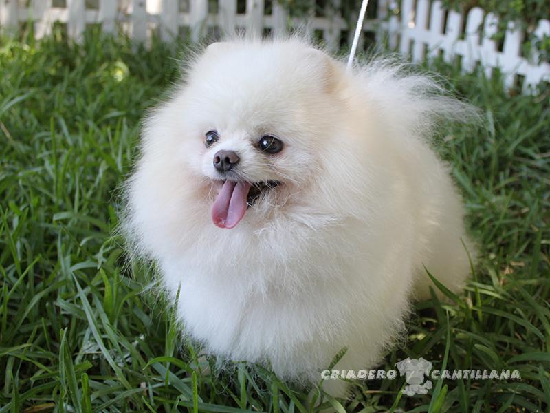 perro-pomerania-blanco4