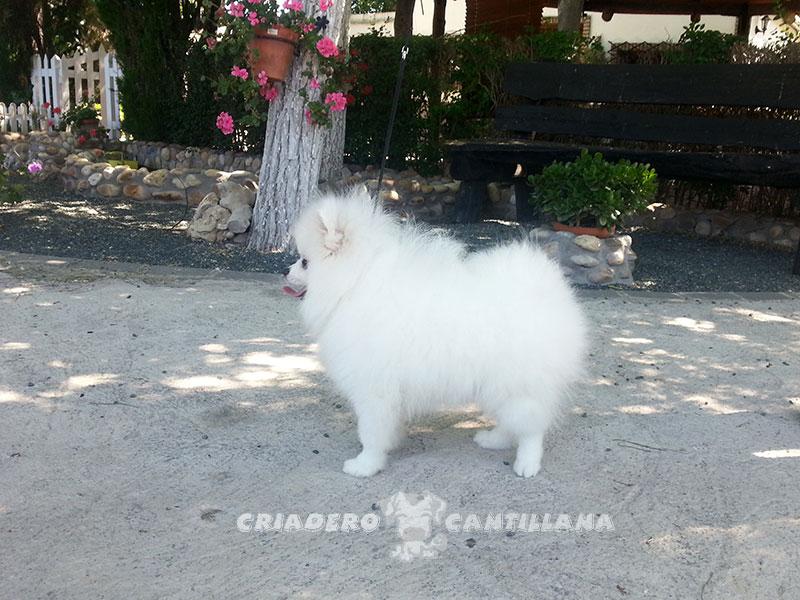 pomerania-blanco-miniatura1