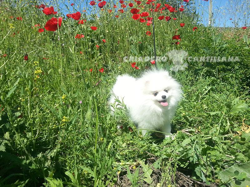 pomerania-blanco-precio1