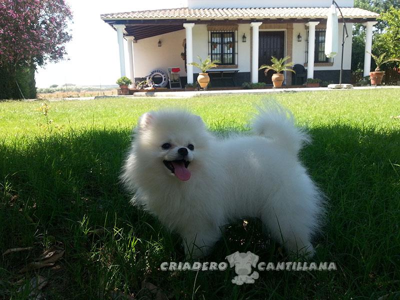 pomerania-perro-blanco