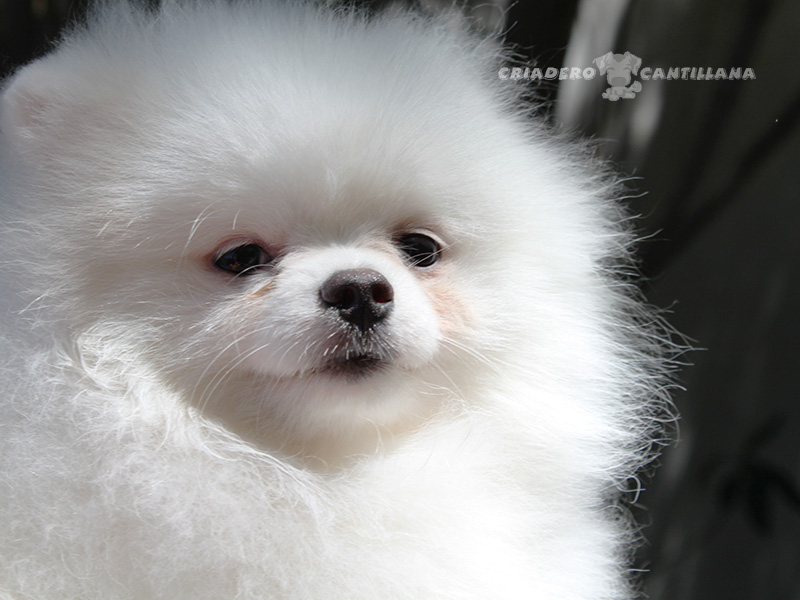 pomerania-perro-blanco1