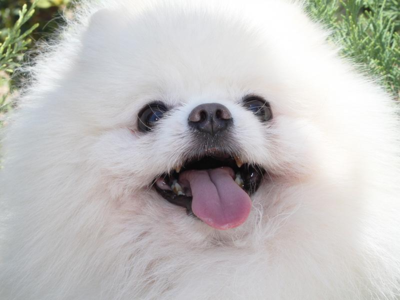 pomerania-perro-blanco2