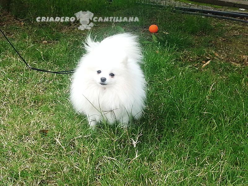 venta-pomerania-blanco-enano11