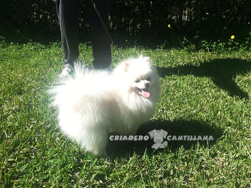 venta-pomerania-blanco-miniatura11