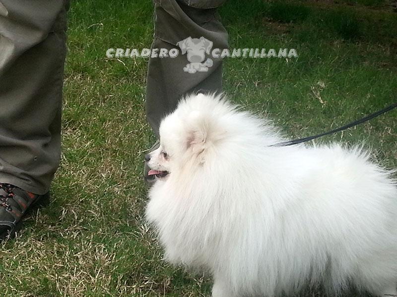 venta-pomerania-blanco-toy11