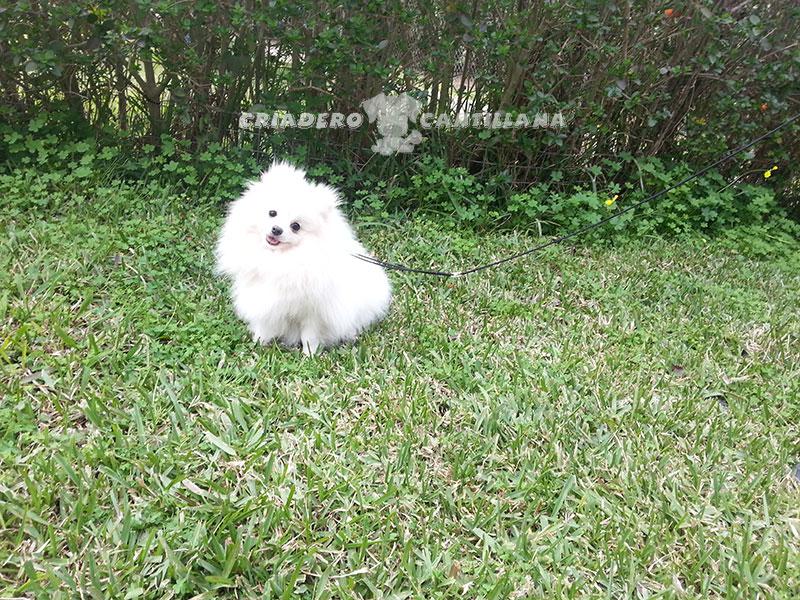 venta-pomerania-blanco11
