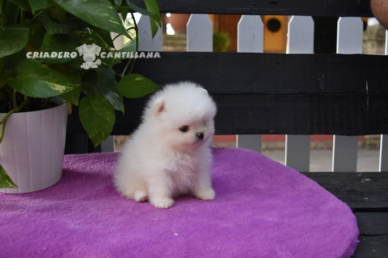 cachorro-pomerania-blanco-2-1