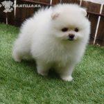 cachorro pomerania blanco