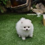 cachorro pomerania blanco toy