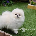 cachorros pomerania blanco