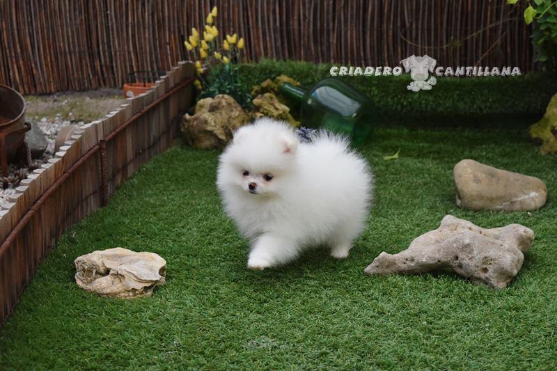 criadero-pomerania-blanco
