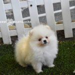 perro pomerania blanco