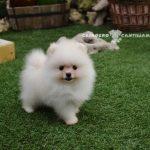perros pomerania blanco