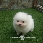 pomerania toy blanco