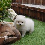 pomerania blanco cachorro