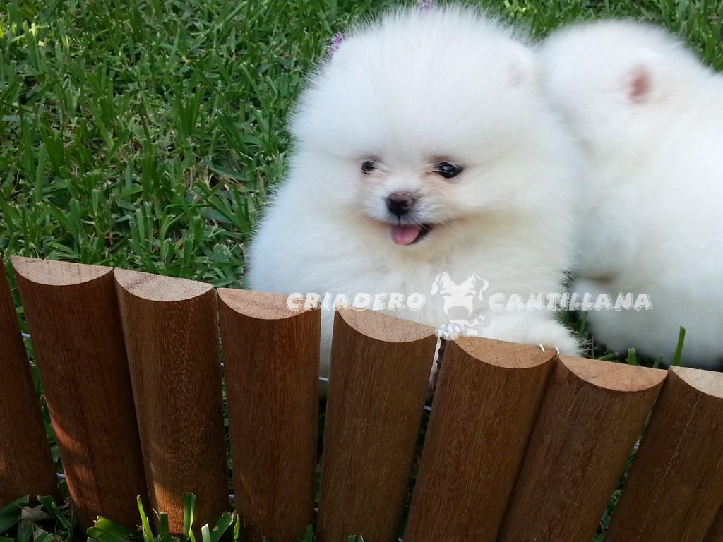 pomerania-blanco-cachorro
