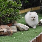 pomerania blanco toy