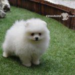 pomerania perro blanco