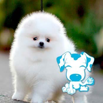 Pomerania blanco
