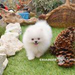 cachorro de pomerania blanco