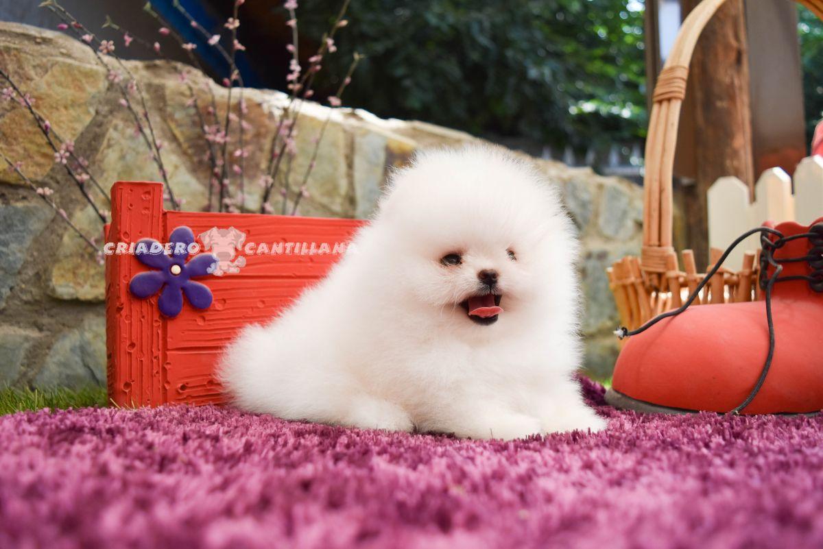 cachorro-pomerania-blanco
