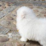 criadero de pomerania blanco