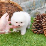 lulu de pomerania toy blanco