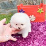 lulu pomerania toy blanco