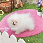 mini pomerania blanco
