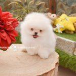 perro boo blanco