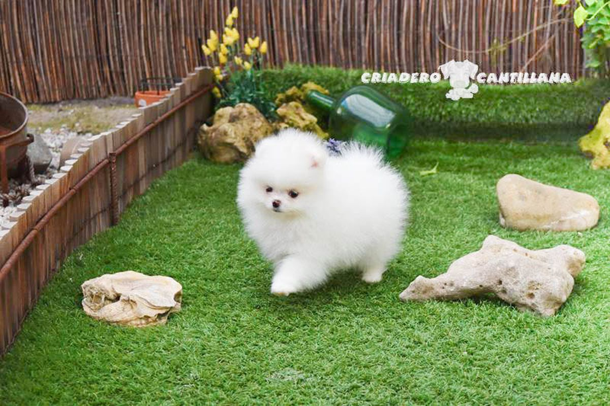 pomerania-blanco-mini
